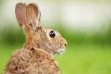 Eastern Cottontail Rabbit Portrait