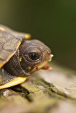 Young Eastern Box Turtle in Spring
