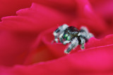 Jumping Spider on Peony Flower