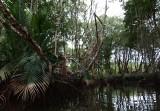 Brunei River, mangroves