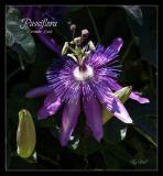 Lavender Lady Passion Flower