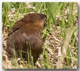 Rat Musqué - Muskrat