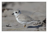 Pluvier Siffleur - Piping Plover