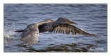 Cormoran à aigrettes - Double crested Cormorant