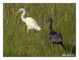 Ibis Falcinelle - Glossy Ibis