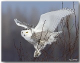 Harfangs des Neiges - Snowy Owls