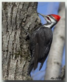 Grand Pic Mâle  -  Male Pileated Woodpecker