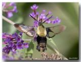 Sphinx Chèvrefeuille - Honeysuckle Clearwings