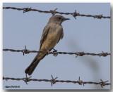 Tyran de Cassin - Cassin's Kingbird