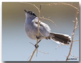 Gobemoucheron à queue noire - Black-tailed Gnatcatcher
