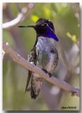 Colibri de Costa - Costa's Hummingbird