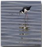 Échasse d'Amérique - Black-necked Stilt
