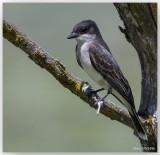 Tyran Tritri - Eastern Kingbird