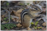 Écureuils - Squirrels
