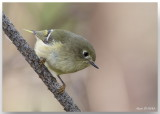 Roitelet à couronne rubis femelle - Female Ruby-crowned Kinglet