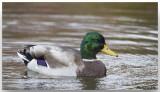 Canard Colvert - Mallard Duck