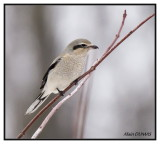 Pie-grièche grise - Northern Shrike