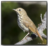 Grive Solitaire - Hermit Thrush
