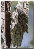 Grimpereau Brun - Brown Creeper