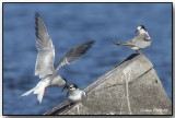 Sternes Artique - Artic Terns