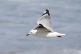 Silver Gull (Chroicocephalus novahollandiae)