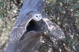 Barn Owl (Tyto delicatula)