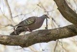 Common Bronzewing (Phaps chalcoptera)