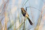 Striated Babbler (Turdoides earlei)