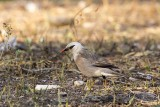 Vinous-breasted Starling (Sturnus burmannicus)