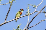 Coppersmith Barbet (Megalaima haemacephala) -- male