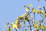 Yellow-footed Green Pigeon (Treron phoenicoptera)