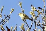 Two-barred Warbler (Phylloscopus plumbeitarsus)