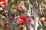 White-browed Fulvetta (Alcippe vinipectus)