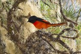 Long-tailed Minivet (Pericrocotus ethologus) -- male
