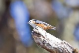 White-browed Nuthatch (Sitta victoriae)