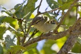 Two-barred Warbler (Phylloscopus plumbeitarsus)