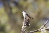 Slaty-backed Flycatcher (Ficedula bodgsonii) -- female