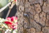 Bar-tailed Treecreeper (Certhia himalayana)