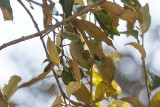 Chestnut-flanked White-eye (Zosterops erythropleurus)