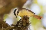 Red-tailed Minla (Minla ignotincta)