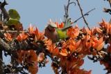 Red-breasted Parakeet (Psittacula alexandri)