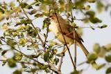 Yellow-eyed Babbler (Chrysomma sinense)