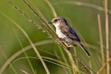 White-eared Stonechat (Saxicola leucura) -- female