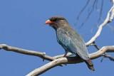 Dollarbird (Eurystomus orientalis)