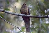Brown Cuckoo-dove (Macropygia amboinensis)