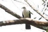 White-headed Pigeon (Columba leucomela)