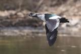 Green Pigmy Geese (Nettapus pulchellus)