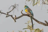 Golden-shouldered Parrot (Psephotus chrysopterygius)