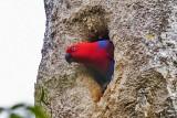 Eclectus Parrot (Eclectus roratus) -- female