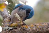 California Scrub-Jay Eating an Acorn